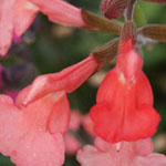 - Salvia greggii 'Salmon' (autumn sage)