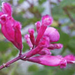 - Salvia involucrata (rosy leaved sage)