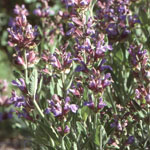 - Salvia officinalis (garden sage)