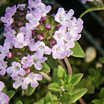 - Thymus 'Passion Pink'
